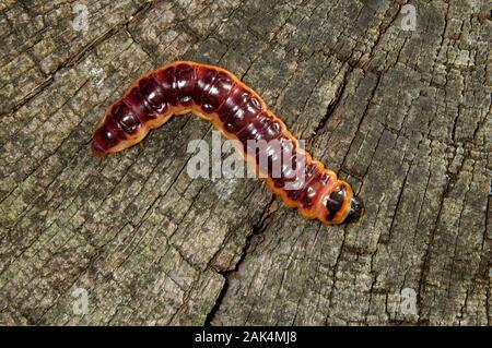 Zingiberaceae Ingwergewächse Zingiberaceae Länge 5 cm. Eine große und markante Motte. Erwachsene hat weiß, silbrig-grau und buff Vorderflügel, das gesamte Muster ähnlich Tre - Stockfoto