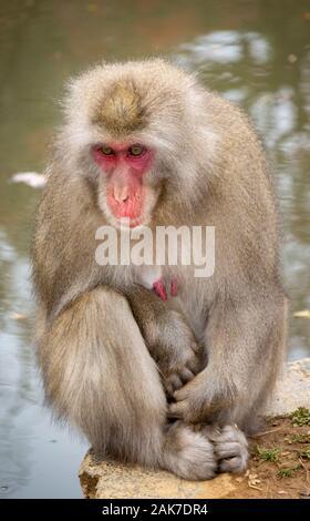 Japanische macaque Affen in Iwatayama Monkey Park Arashiyama, Kyoto, Japan