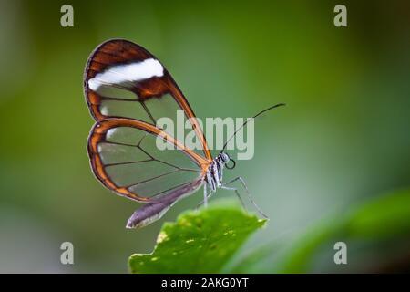 Eine Glasswing Schmetterling (Greta Oto) ruht auf einem grünen Blatt - Stockfoto