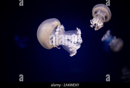 Fass-Jellyfische, der Müller-Deckel-Quallen oder der fritlige Quallen ist eine Skyphommedusa in der Familie Rhizostomatidae Stockfoto