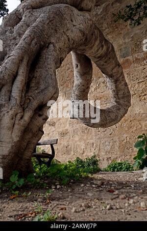 Skurril Gewachsener Lorbeerbaum vor dem Griechen-Tor, Mdina, Malta - Stockfoto