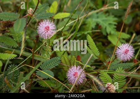Mimosa pudica Blume aus Masinagudi, Mudumalai-Nationalpark, Tamil Nadu - Karnataka-Staatsgrenze, Indien. Berühren Sie mich nicht blühende Pflanze. - Stockfoto
