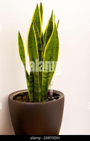 Die Schwiegermutterzunge (Sansevieria trifasciata) ist eine Hauspflanze, auch bekannt als Vipers Bowstring Hanf, Saint George's Sword oder Schlangenpflanze in einer Brühe