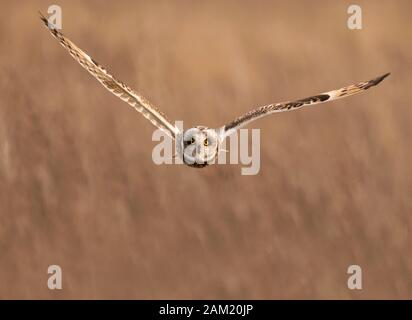 Eine wilde Short Eared Owl (Asio Flammeus) fliegen geradeaus in Richtung Kamera, Gloucestershire - Stockfoto