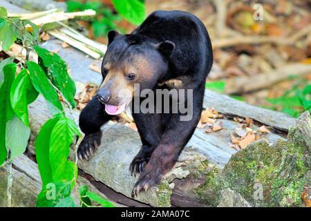 """Bornean Sun Bear, """"Helarctos malayanus euryspilus"""", Sepilok, Sabah, Malaysia, Borneo - Stockfoto"""