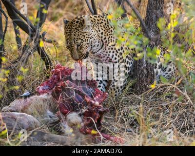 Leopard, Panthera pardus, at a Kill, Khwai Private Reserve, Okavango Delta, Botswana - Stockfoto