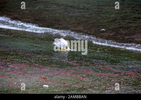 Silbermöwe (Larus argentatus) - zwei Möwen fressen Abfälle vom Fischfang im Hafen von Caloura, Augua de Pau, Sao Miguel, Azoren, Potugal - Stockfoto