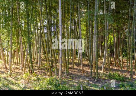 Bambuswaldhain im Wintersonnenlicht, Kanazawa, Präfektur Ishikawa, Japan.
