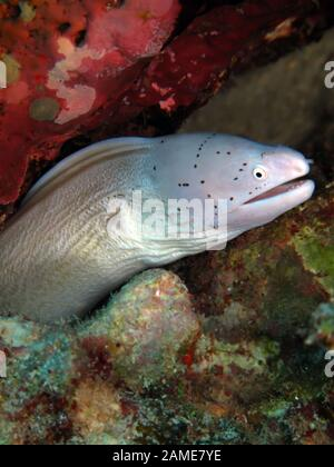 Grau, Moray, (gymnothorax griseus - Stockfoto