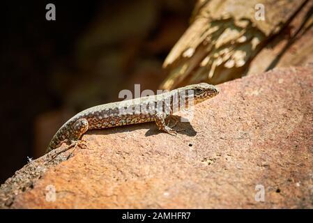 Gemeinsamen Mauereidechse (Podarcis Muralis)