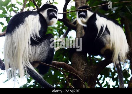 Colobus Affen im Wald in Äthiopien. - Stockfoto