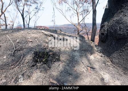 """Der Gospers Mountain Mega-Fire hat über 500.000 Hektar Busch-, Bauernhöfe und Volkswohnungen durchgebrannt. Im Vorort Bilpin sprang Ende Dezember das Feuer auf die Bells Line of Road und brannte Häuser, apfelplantagen und Geschäfte nieder, die die Gegend berühmt machen. Dieses Bild, das nicht weit von Bilpin entfernt ist, zeigt nur einige neue grüne Triebe, die nach den jüngsten leichten Niederschlägen aus einer verkohlten nativen Graspflanze wachsen. Ab dem 14. Januar 2020 brennt das Feuer noch, wird aber als """"Eingedämmt"""" eingestuft und alle betroffenen Straßen sind nun für den Verkehr freigegeben. Foto Credit Stephen Dwyer Alamy News - Stockfoto"""