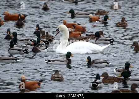 Moskau, Russland. Januar 2020. Moskau, RUSSLAND - 14. JANUAR 2020: Ein Schwan, Enten und rudelige Shelenten schwimmen in einem Teich im Moskauer Zoo; Moskau und das übrige mitteleuropäische Russland erleben ungewöhnlich hohe Wintertemperaturen von durchschnittlich 4 bis 12 Grad über dem Normalwert; Moskaus Rekordtemperatur im Januar von 8,6 Grad Celsius über Null wurde am 11. Januar 2007 verzeichnet. Vyacheslav Prokofjew/TASS Credit: ITAR-TASS News Agency/Alamy Live News - Stockfoto