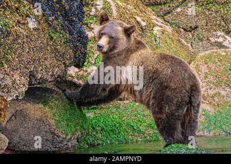 Grizzly Bär, der auf Muscheln entlang der Niedrigwasserlinie in Knight Inlet, First Nations Territory, British Columbia, Kanada, aufforst. - Stockfoto