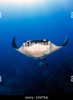 Gigantisches Meer von Manta Ray unter Wasser, San Benedicto, Revillagigedo Inseln, Mexiko - Stockfoto