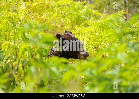 Nahaufnahme eines schwarzen Bärenkopfes, der sich in den nassen grünen Büschen im Yellowstone-Nationalpark versteckt - Stockfoto