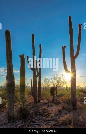 Saguaro Cactus bei Sonnenuntergang im Saguaro National Park in der Nähe von Tucson, Arizona. - Stockfoto