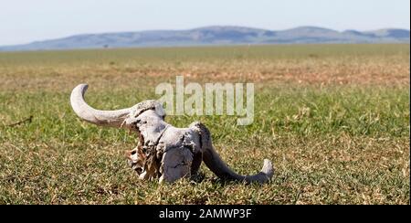 Ein paar Knochen sind Links nach der großen Migration Süden während der trockenen Jahreszeit in der Masai Mara, Kenia leitete. - Stockfoto