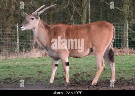 Gemeinsame eland - Tragelaphus oryx-in Knowsley Safari Park, Merseyside, UK. - Stockfoto