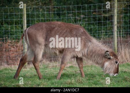 Weibliche wasserbock - Kobus ellipsiprymnus - Beweidung auf Knowsley Safari Park, Merseyside, UK. - Stockfoto