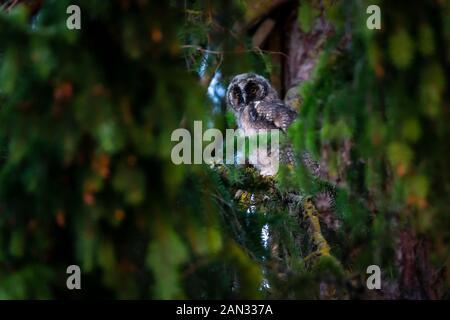 Waldohreule (Asio Otus) - Stockfoto