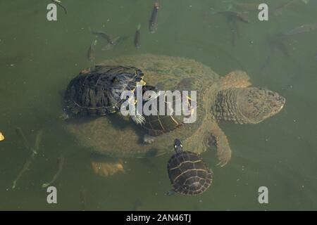 Rotarmiges Gleitband (Trachemys scripta elegans) und bemalte Schildkröten (Chrysemys picta) auf dem Rücken der Schnappschildkröte, Chelydra serpentina, Maryland - Stockfoto