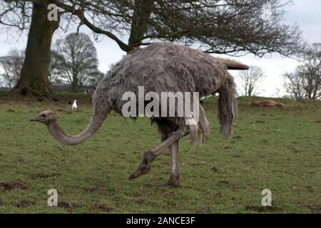 Der Strauß Struthio camelus - in Knowsley Safari Park, Merseyside, UK - Stockfoto
