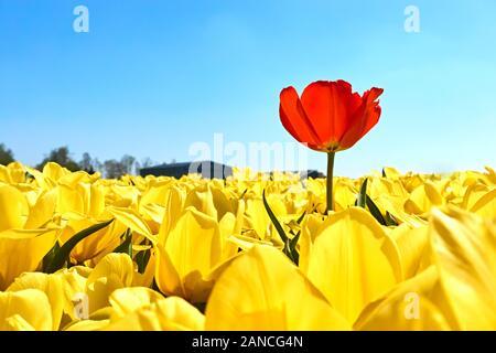 Individualität, Differenz und Leadership Konzept. Heben Sie sich von der Masse ab. Eine einzige rote Tulpe in einem Feld mit vielen gelben Tulpen vor einem blauen Himmel. - Stockfoto