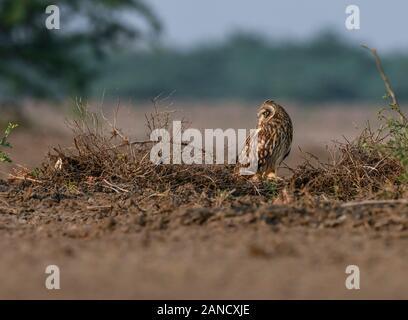 Kurzohreule, Asio flammeus sanfordi, seltener endemischer Vogel, Eule im Naturlebensraum. Vogel mit schöner Abendsonne. Tierwelt aus der Natur. - Stockfoto
