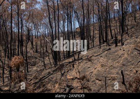 Cudlee Creek Adelaide Hills. 17. Januar 2020. Landschaft von verbrannten Eucalpytus Bäume und geschwärzte trunksmin die Folgen der verheerenden Buschbrände im Cudlee Creek in den Adelaide Hills mit Ausbrennen verkohlten Bäumen. Credit: Amer ghazzal/Alamy leben Nachrichten - Stockfoto