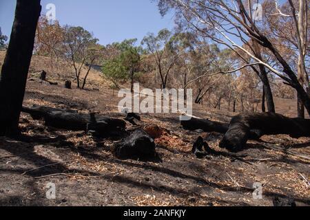 Cudlee Creek Adelaide Hills. 17. Januar 2020. Verbrannt eucalpytus Bäume und geschwärzten Stämme im Gefolge der verheerenden Buschbrände im Cudlee Creek in den Adelaide Hills mit Ausbrennen verkohlten Bäumen. Credit: Amer ghazzal/Alamy leben Nachrichten - Stockfoto