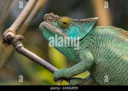 Schöne portrait einer Green Panther chameleon auf einem Ast, Wildnis, Tier
