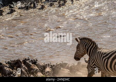 Mara River Crossing, gemeinsame Zebra, Equus quagga, Equiden, Masai Mara National Reserve, Kenia, Afrika Stockfoto