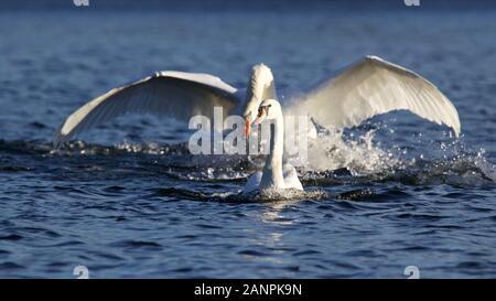 Eine territoriale Höckerschwan Cygnus olor Jagen aus einem jüngeren Schwan von der See im Winter - Stockfoto