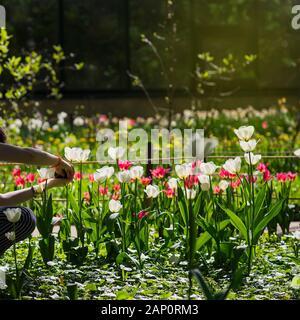 Tulpen os roten und weißen Farben der verschiedenen Sorten, frühlingswiese Hintergrund, Bereich der Tulpen. - Stockfoto