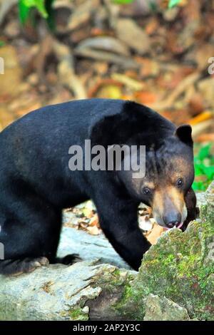 "Bornesischen Sun Bear, 'Helarctos malayanus euryspilus"", Essen, Sepilok, Sandakan, Sabah, Malaysia, Borneo - Stockfoto"