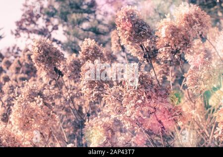 Rosafarbene Blumen aus Hydrangea, die in der Blüte stehen, schließen sich an