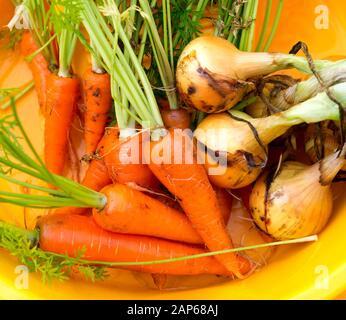 Frisch geerntetes Gemüse, Zwiebel und Karotten. Sommer organisches Gemüse. - Stockfoto