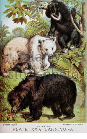 Syrischer Bär, Slith Bear, Bornean Sun Bear, klassische Farb-lithograph-Illustration aus dem Jahr 1880 - Stockfoto