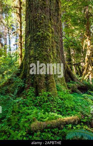 Einen schönen alten Baum in Moos und Oxalis bedeckt, Hoh Regenwald, Olympic National Park, Washington, USA. - Stockfoto