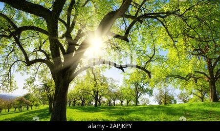 Ländliche Landschaft mit Bäumen auf einer grünen Wiese, die Sonne scheint durch die Silhouettenzweige - Stockfoto