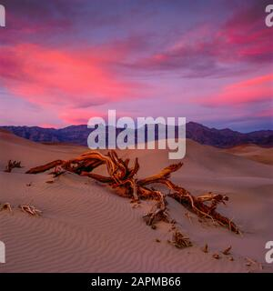 Sonnenuntergang, Tamarisken, Dünen, Grapevine Mountains, Death Valley National Park, Kalifornien - Stockfoto