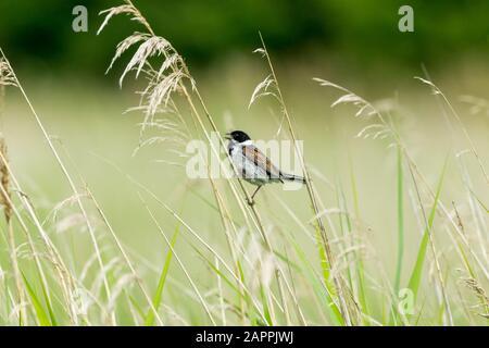 Männliche Schilfbrötchen (wissenschaftlicher Name: Emberiza schoeniclus) auf einem Grasstamm aufgehüllt und mit im natürlichen Schilfbeet geöffnetem Schnabel gesungen. Nach links - Stockfoto