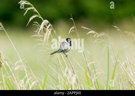 Männliche Schilfbrötchen (wissenschaftlicher Name: Emberiza schoeniclus) auf einem Grasstamm im natürlichen Schilfbeet Lebensraum. Nach rechts. Querformat. Platz für die Kopie - Stockfoto