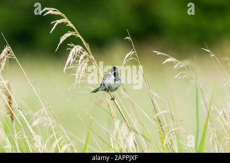 Männliche Schilfbrötchen (wissenschaftlicher Name: Emberiza schoeniclus) auf einem Grasstamm aufgehüllt und mit Schnabel opn im natürlichen Schilfbeet Lebensraum gesungen. Nach rechts - Stockfoto