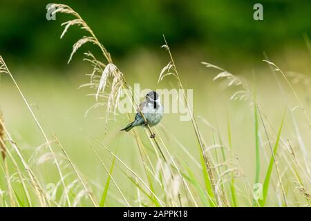 Männliche Schilfbrötchen (wissenschaftlicher Name: Emberiza schoeniclus) auf einem Grasstamm im natürlichen Schilfbeet Lebensraum. Nach links. Querformat. Platz für die Kopie - Stockfoto