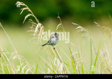 Männliche Schilfbrötchen (wissenschaftlicher Name: Emberiza schoeniclus) auf einem Grasstamm im natürlichen Schilfbeet Lebensraum. Nach rechts. Querformat. Kopierbereich - Stockfoto