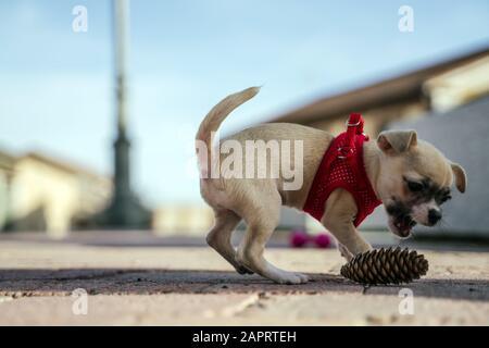 Ein wunderschöner Blick auf chihuahua, der an einem kühlen Tag mit einer Pinekone im Freien spielt - Stockfoto