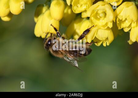"""Honigbiene (Apis mellifera), die auf gelben Mahonia """"Winter Sun"""" Blumen an einem schönen Weihnachtstag im mittleren Winter, Berkshire, Dezember"""
