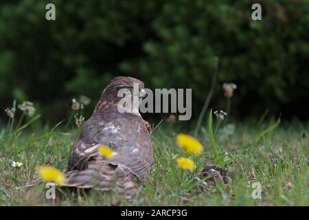 Sparrowhawk, Accipiter nisus, Porträt eines jungen Weibchens, das auf Gras ruht. Lea Valley, Essex, Großbritannien. - Stockfoto